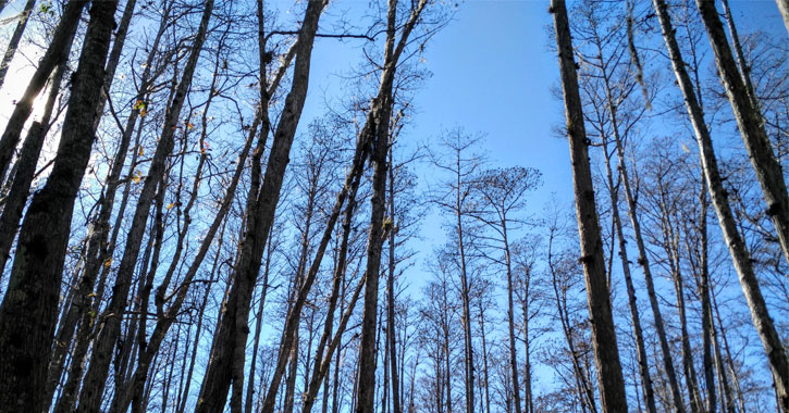 view looking up at bare trees with a very blue sky