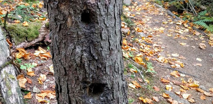 a tree with two woodpecker holes next to a trail with fallen leaves