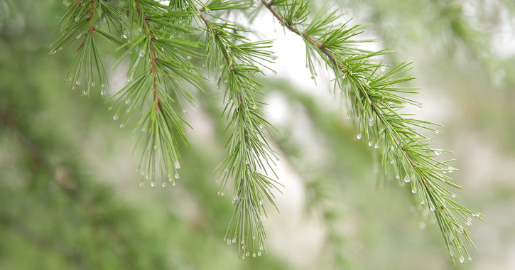close up of rain drops on a pine tree