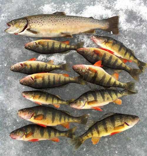 several perch laid out on the lake ice