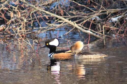 Male and female hooded mergansers floating along the water