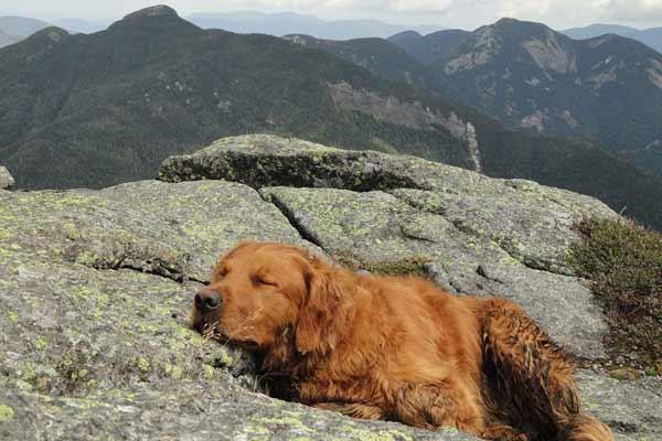 Golden retriever naps on a rocky mountain peak