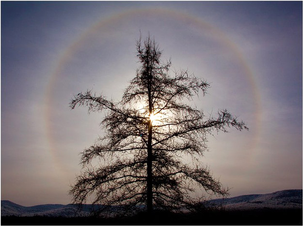 Silhoutte of a tree with a circular rainbow (ice halo) behind it.