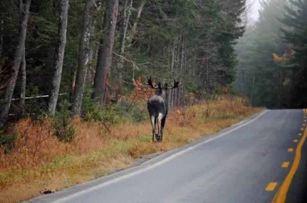 Adirondack Bull Moose