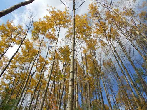 Looking up towards the canopy of an aspen tree grove