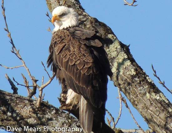 Bald Eagle In The Adirondacks By: David Mears