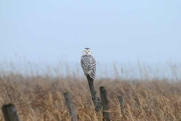 Antoni Zaborek: Snowy Owl spotted near Lake Champlain.