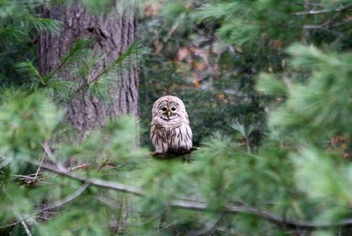 Owl sitting on a tree branch framed by pine needles