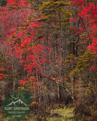 red fall foliage in the woods