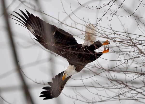 bald eagle swooping onto prey