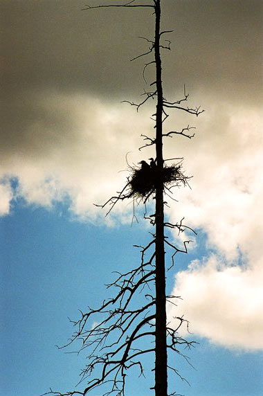 Baby great herons in their nest on a barren tree