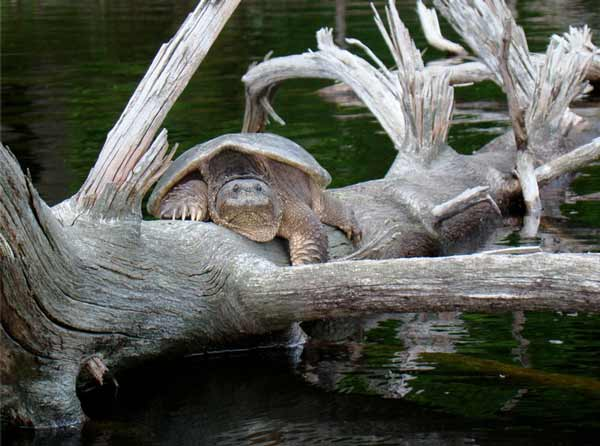 large snapping turtle resting on a dead tree over water