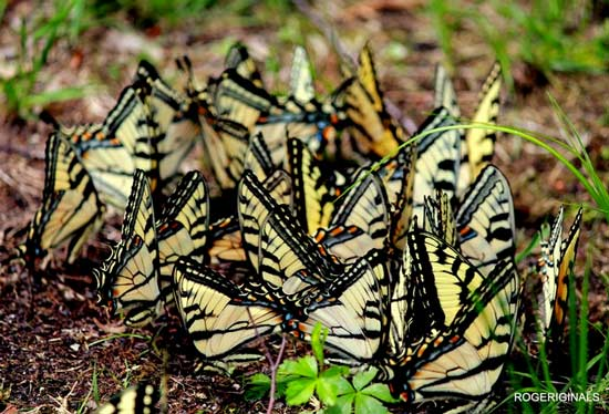 yellow and black butterflies clustered together on the ground