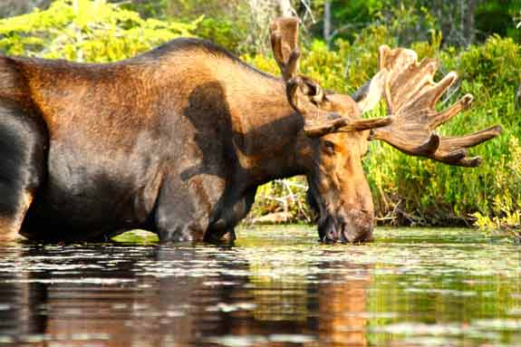 Moose drinking while standing in water