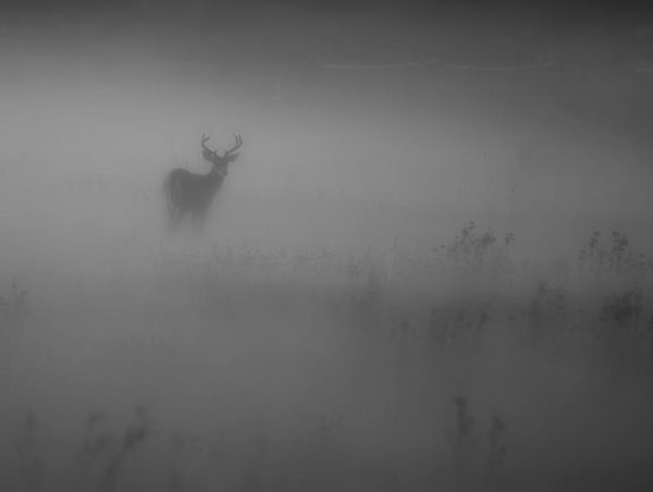 Young buck looking back in the fog