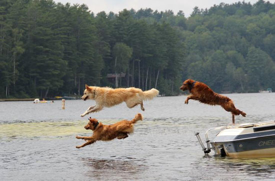 Three dogs jumping from a boat into Loon Lake