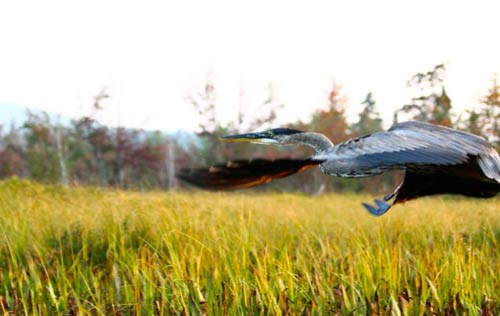 Bird flying over a marsh