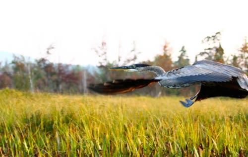 Bird flying over a marsh