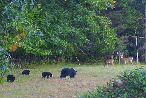 Black bear mom and cubs standoff againts two white-tailed doe in a clearing