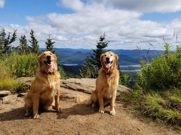 Two golden retrievers sitting atop mountain