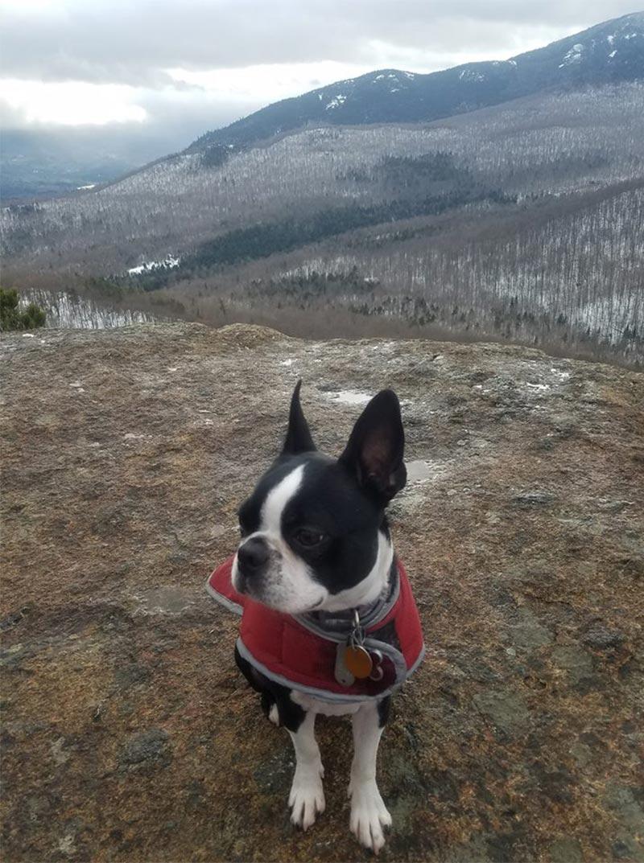 boston terrier on a mountain summit