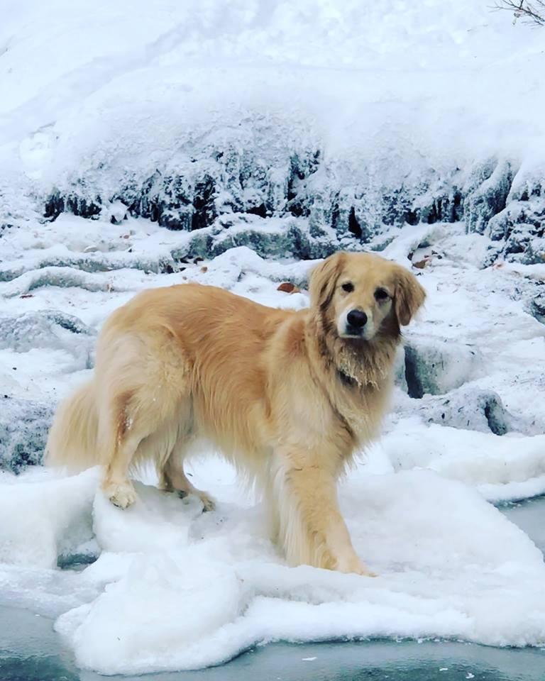 golden retriever on a frozen lake