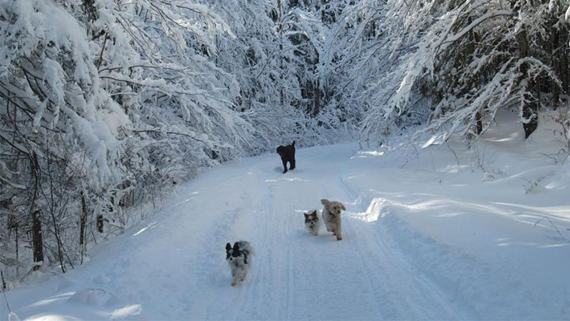 four dogs running on a snowy trail