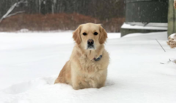 golden retriever sitting in the snow