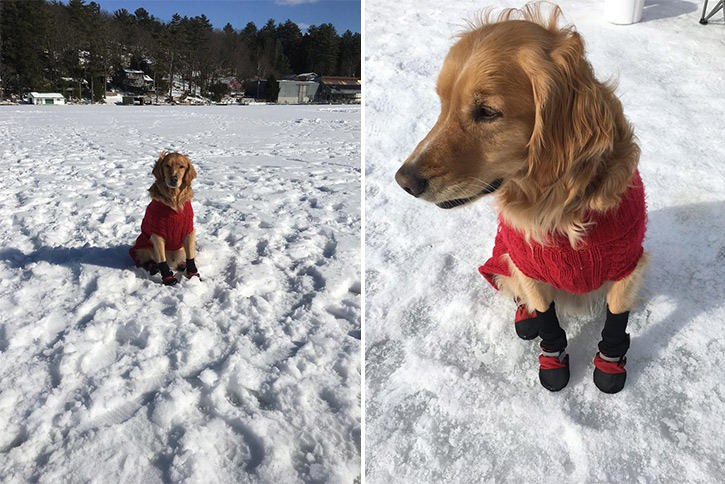 golden retriever in a sweater and booties