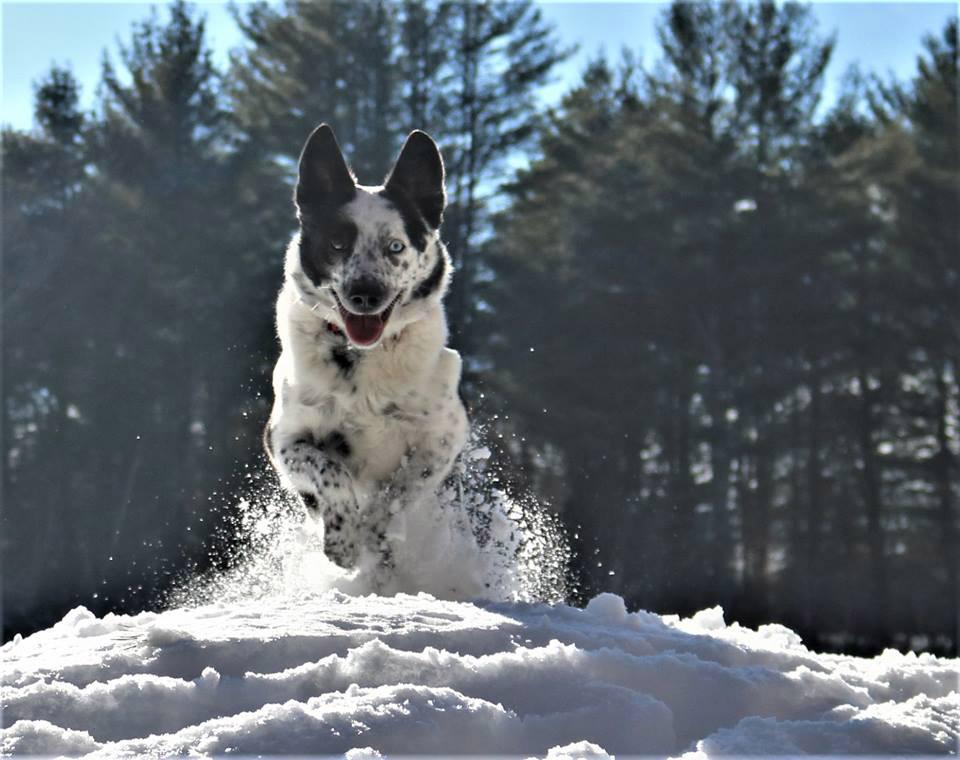 dog running through the snow