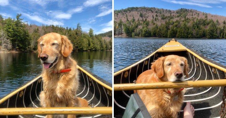 golden retriever in a canoe