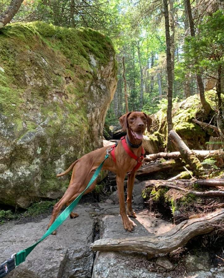 Medium brown dog on a hike in the woods