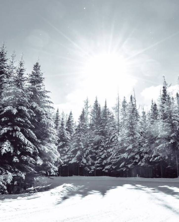 Snowy pine trees on a sunny winter day