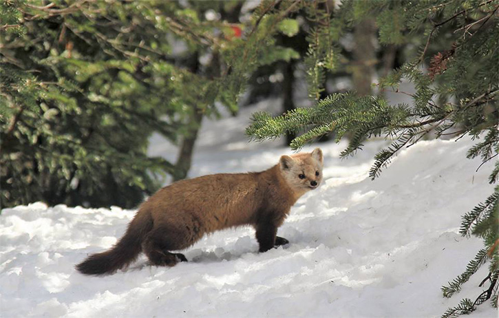 pine marten in the snow