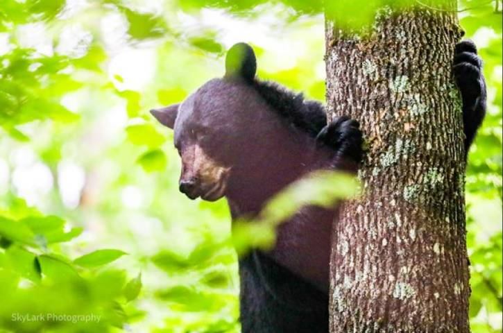 Black bear peeking out from behind a tree