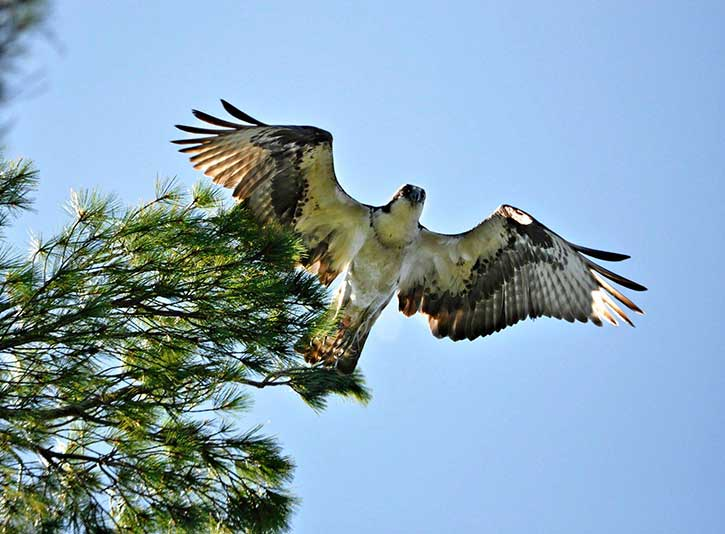 osprey in the adirondacks near ausable river