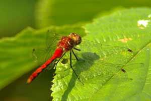 Wild Center Dragonfly
