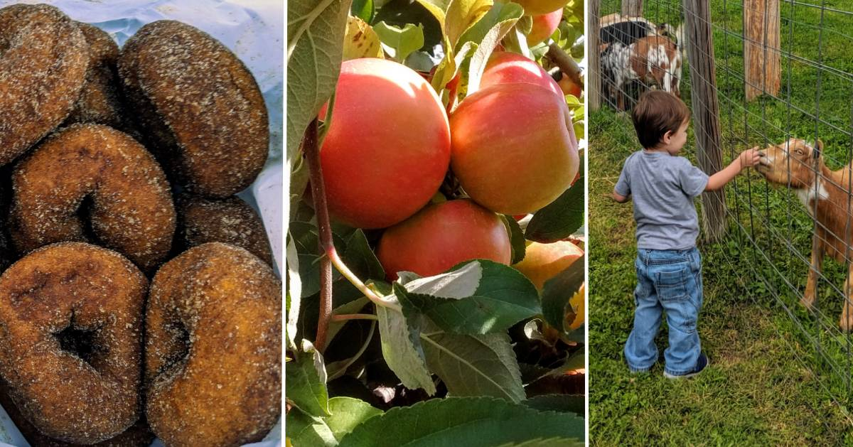 image split in three with cider doughnuts, apples on tree, and kid visiting a goat