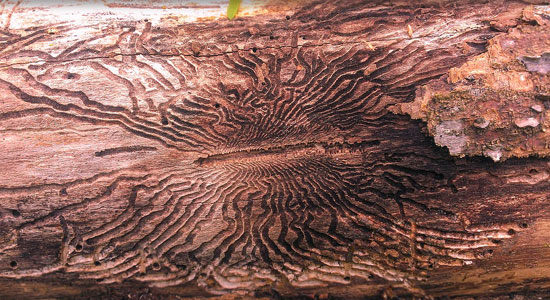 wood damaged by ask borer