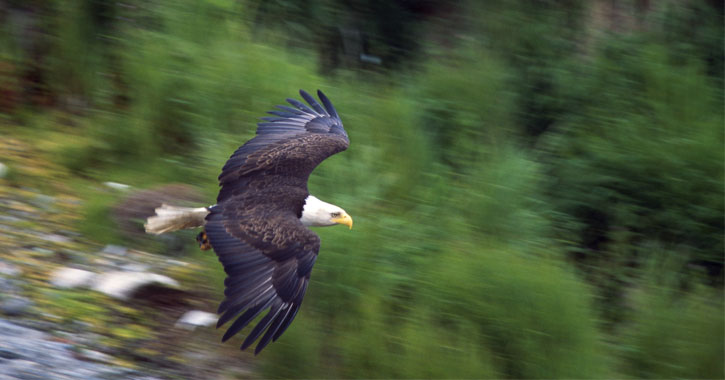 a bald eagle flying over water and trees