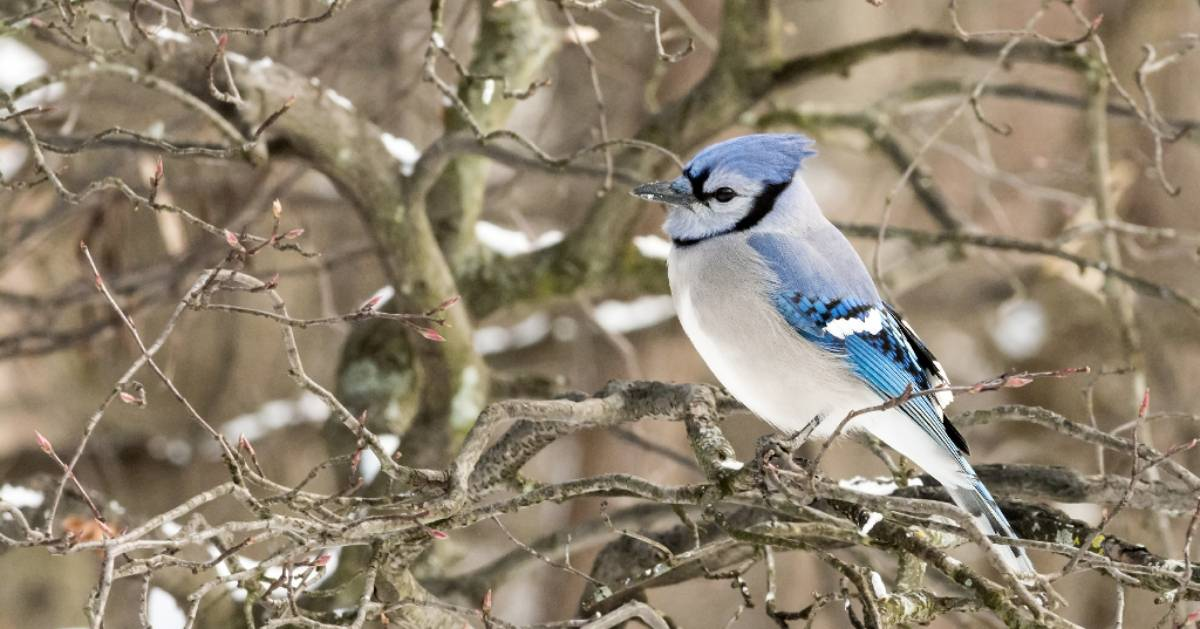 blue and white bird in tree in the winter