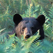 black bear in the adirondacks