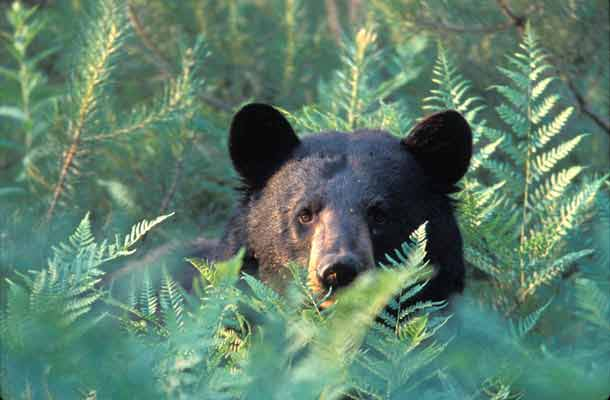 Facts About Black Bears In The Adirondacks