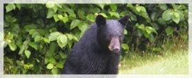 black bear with background of trees