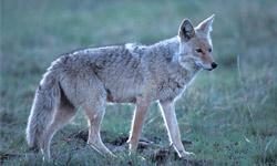 coyote in the adirondacks