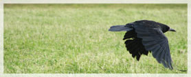 crow flying above the grass
