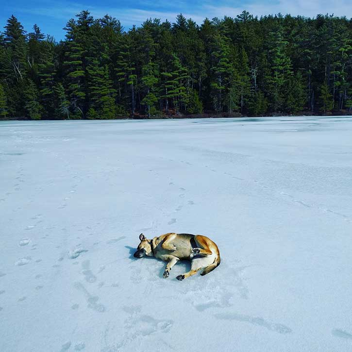 dog rolling around on the ice