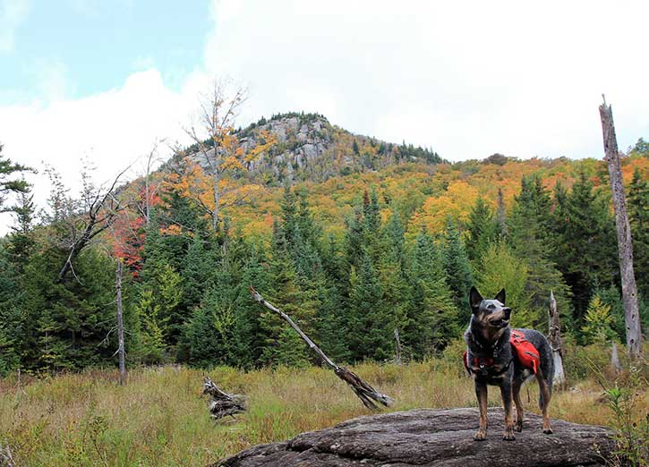 adirondack dog out hiking in the fall