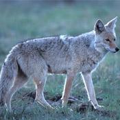 eastern coyote in the adirondacks