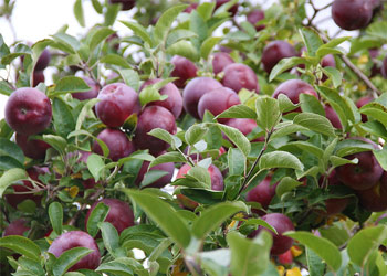 red apples near leaves